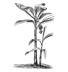 Banana vintage engraving vector image vector image