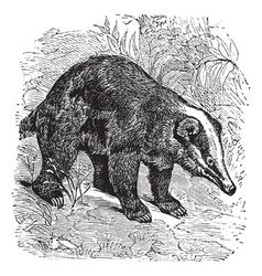 Hog badger vintage engraving vector