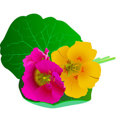 nasturtium flowers isolated on white background vector image vector image