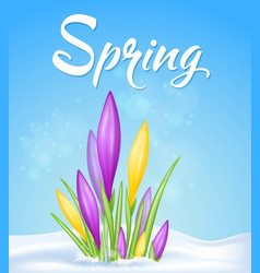 yelow and violet crocuses in snow vector image vector image