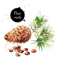 Hand drawn watercolor painting of pine nuts vector