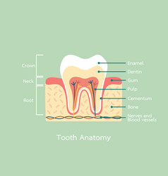 Healthy tooth anatomy with word vector