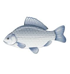 Crucian carp vector image