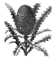 Showy Banksia vintage engraving vector image