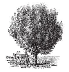 Boxwood tree vintage engraving vector image