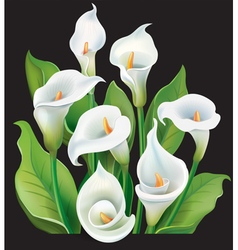 Bouquet of White Calla lilies on black background vector image