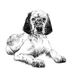 English setter1 vector image vector image