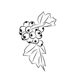 Hawthorn berries drawing vector image