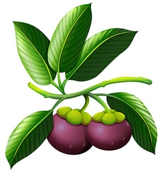 Branch of mangosteen with fruits vector