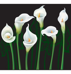 White Calla lilies on black background vector image