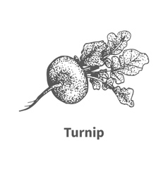 hand-drawn turnip vector image vector image