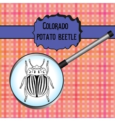 Insect in magnifier colorado potato beetle vector