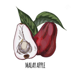 Malay apple full color realistic hand drawn vector