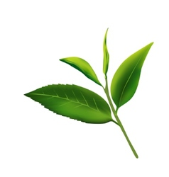 Fresh leaves of tea on a white background vector