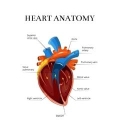 Heart sectional anatomy cardiological vector