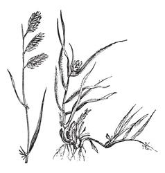 Buffalograss grass engraving vector