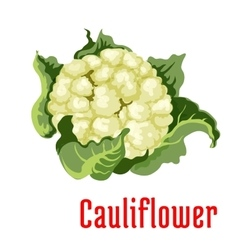 Cauliflower vegetable plant icon vector image
