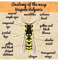 Insect anatomywasp vespula vulgaris sketch of vector