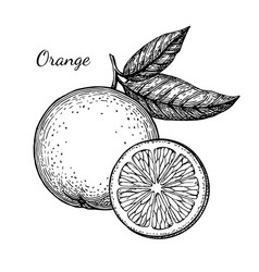 ink sketch of orange vector image vector image