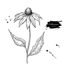 Echinacea drawing isolated purpurea flower vector