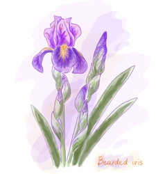 Bearded iris watercolor imitation vector
