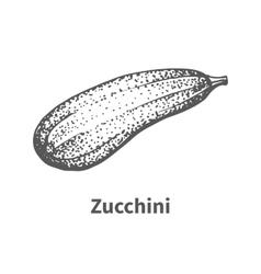 Hand-drawn zucchini vector
