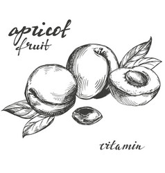 apricot fruit set hand drawn vector image