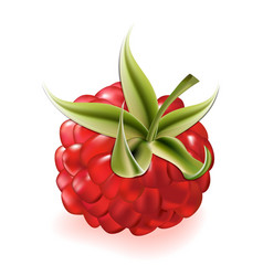 raspberry on white background vector image
