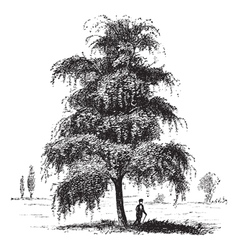 Birch tree vintage engraving vector image