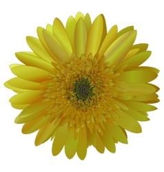 Image sunny bright yellow barberton daisy vector
