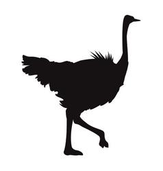 Ostrich birds of savannah african fauna wildlife vector