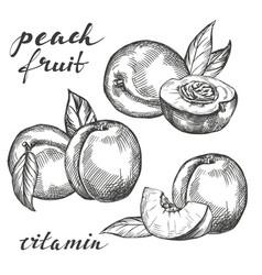 Fruit peach set hand drawn vector