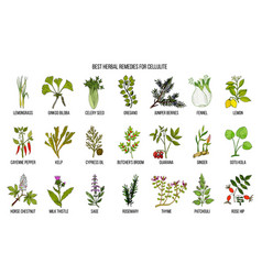 Collection of best herbs for cellulite vector