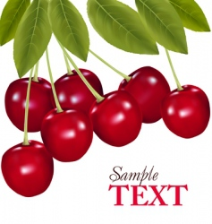 fresh cherries vector image vector image