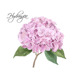Hydrangea pink realistic vector