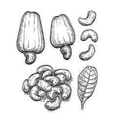 Ink sketch of nuts vector
