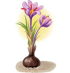 Plant crocus from which saffron is obtained vector