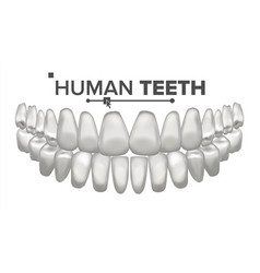 tooth mouth anatomy human teeth healthy vector image