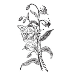 Borage vintage engraving vector