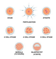 Development of the human embryo vector image vector image