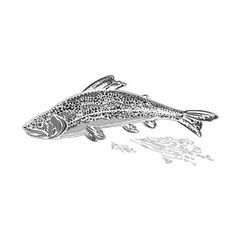 Rainbow trout as vintage engraved vector