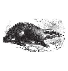 European Badger vintage engraving vector image
