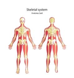 Anatomy guide of human skeleton anatomy didactic vector