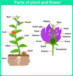 Leaning parts of plant and flower for kids vector