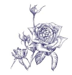 rose branch hand drawn llustration vector image