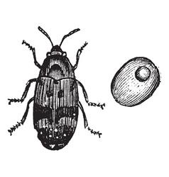 beetle vintage engraving vector image vector image