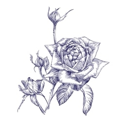 rose branch hand drawn llustration vector image