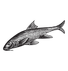 Common Barbel Vintage engraving vector image