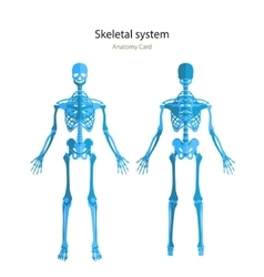 Anatomy guide of human skeleton Anatomy didactic vector image