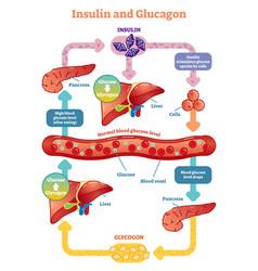 Insulin and glucagon diagram vector